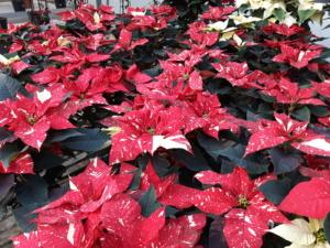 Stella Di Natale Origini.Stelle Di Natale Come Farle Durare A Lungo Floricoltura Bortolozzo